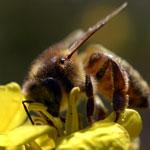 Le réchauffement global est une des causes de la disparition des abeilles