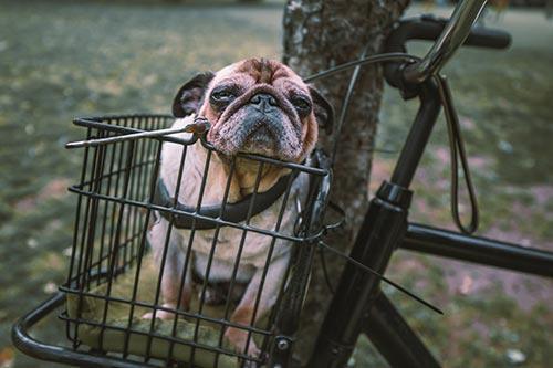 """Dressage d'un chien pour qu""""il reste assis dans le panier du vélo"""