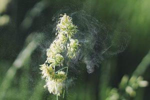 Le pollen, un incontournable du printemps