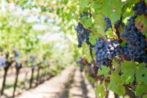 Vignobles de raisins rouges