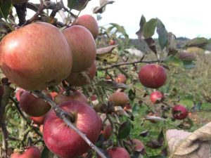 Des pommes sur la route des fruits
