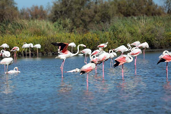 Les flamands rose en Camargue