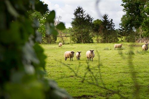 Moutons dans le bocage normand sur la Véloscénie